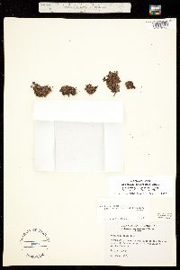 Muscaria delicatula image