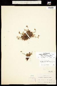 Muscaria monticola image