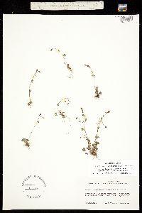 Saxifraga hyperborea ssp. debilis image