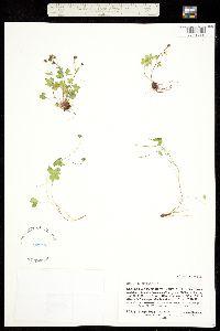 Saxifraga rivularis image