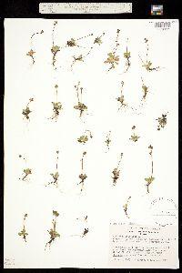 Spatularia foliolosa image