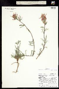 Castilleja chromosa image