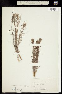 Castilleja flava image