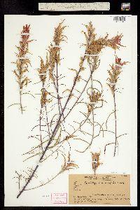 Castilleja linariifolia image