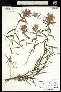 Image of Castilleja miniata