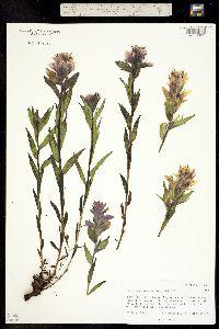 Image of Castilleja rhexifolia