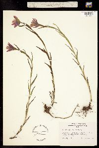 Castilleja rhexifolia image