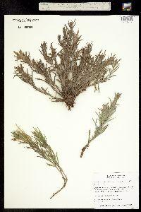 Image of Castilleja sessiliflora