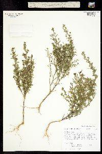 Image of Chaenorrhinum minus