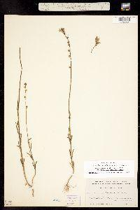 Linaria canadensis var. texana image