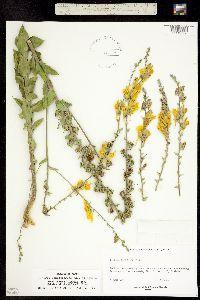 Linaria dalmatica subsp. dalmatica image