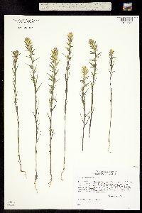 Orthocarpus luteus image