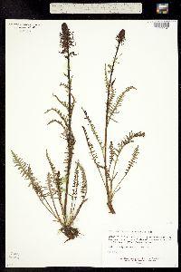 Pedicularis groenlandica image