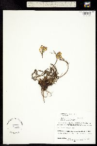 Pedicularis parryi image