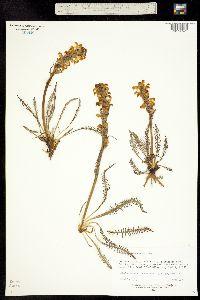 Image of Pedicularis parryi