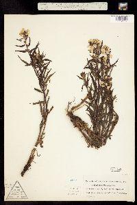 Pedicularis racemosa ssp. alba image