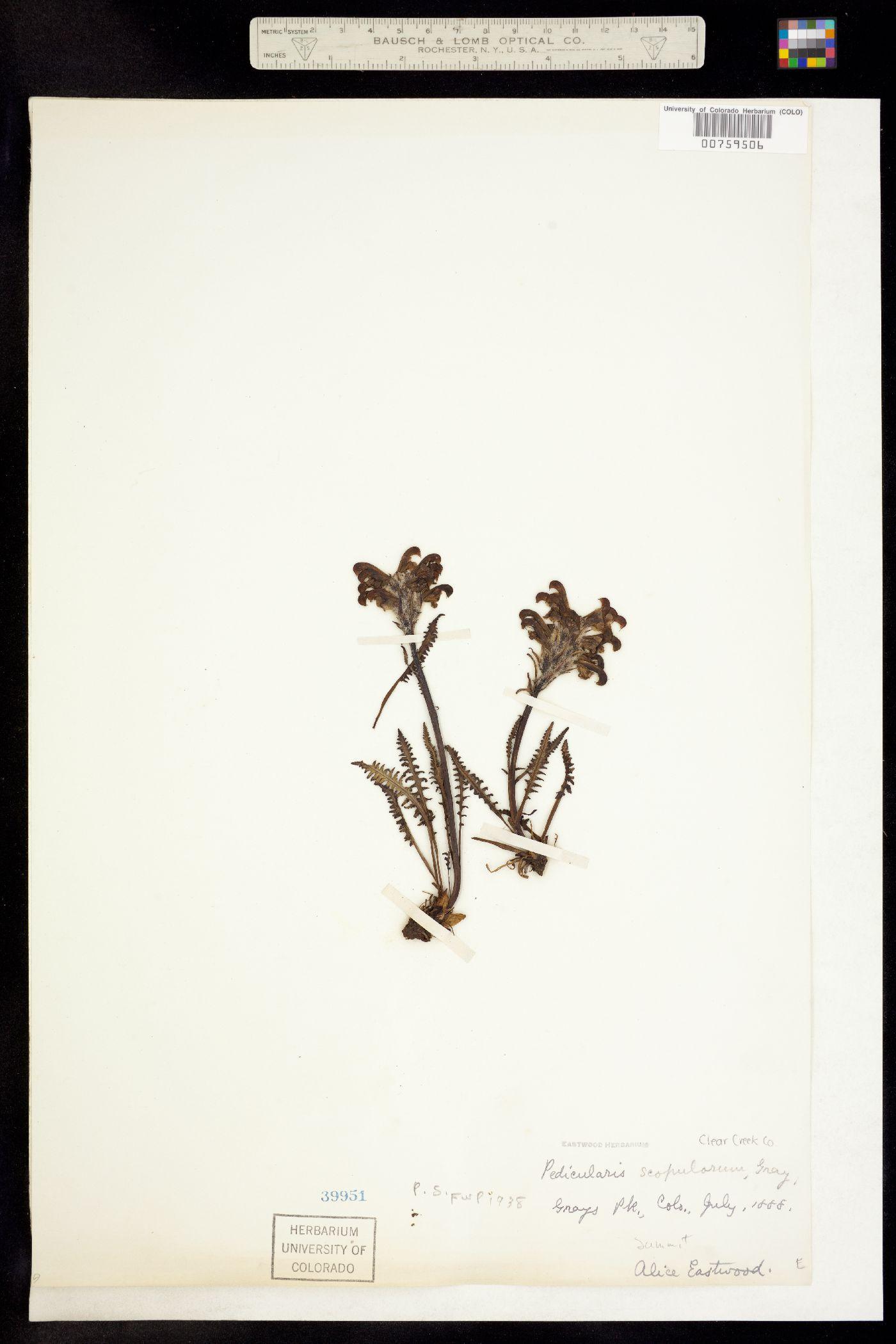 Pedicularis sudetica subsp. scopulorum image