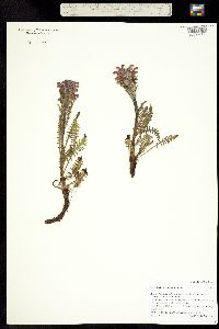 Pedicularis scopulorum image