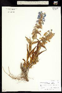Penstemon angustifolius ssp. caudatus image