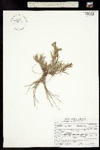 Penstemon auriberbis image