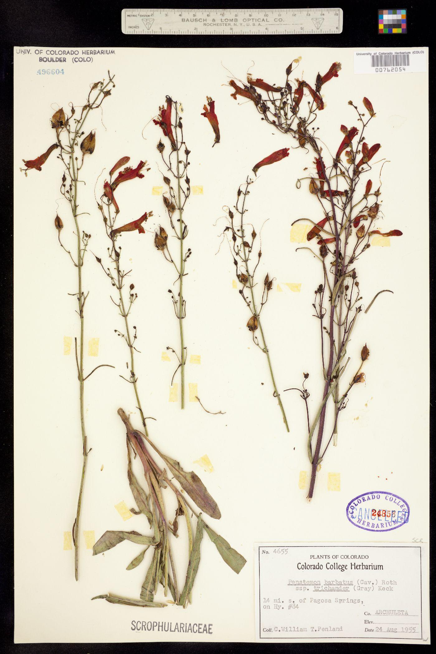 Penstemon barbatus ssp. trichander image