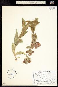 Image of Penstemon cobaea