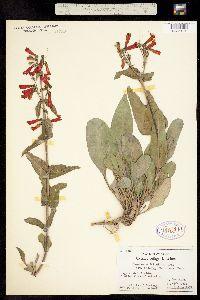 Penstemon eatonii ssp. undosus image