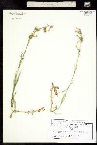 Penstemon gracilis image