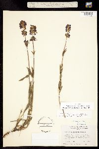 Penstemon procerus var. procerus image