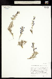 Penstemon retrorsus image