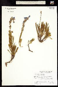 Penstemon scariosus var. cyanomontanus image