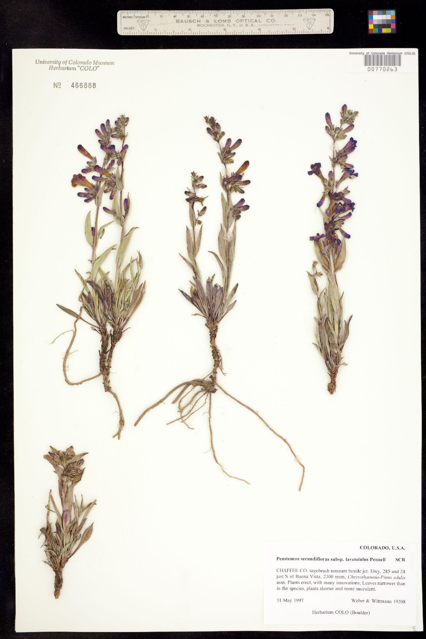 Penstemon secundiflorus ssp. lavendulus image