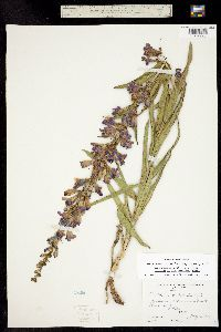 Penstemon unilateralis image