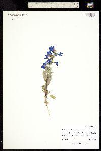Penstemon versicolor image
