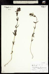 Rhinanthus minor ssp. borealis image