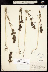 Image of Rhinanthus arcticus