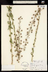 Image of Verbascum blattaria