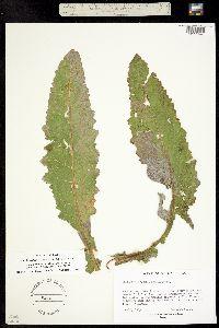 Verbascum pterocaulon image