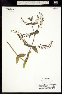 Veronica grandiflora image