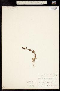 Veronicastrum serpyllifolium ssp. humifusum image