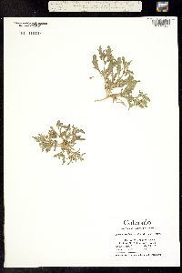 Chamaesaracha conioides image