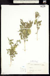 Physalis hederifolia var. fendleri image