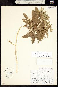 Physalis hispida image
