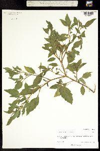 Physalis longifolia image