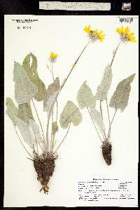 Image of Balsamorhiza sagittata