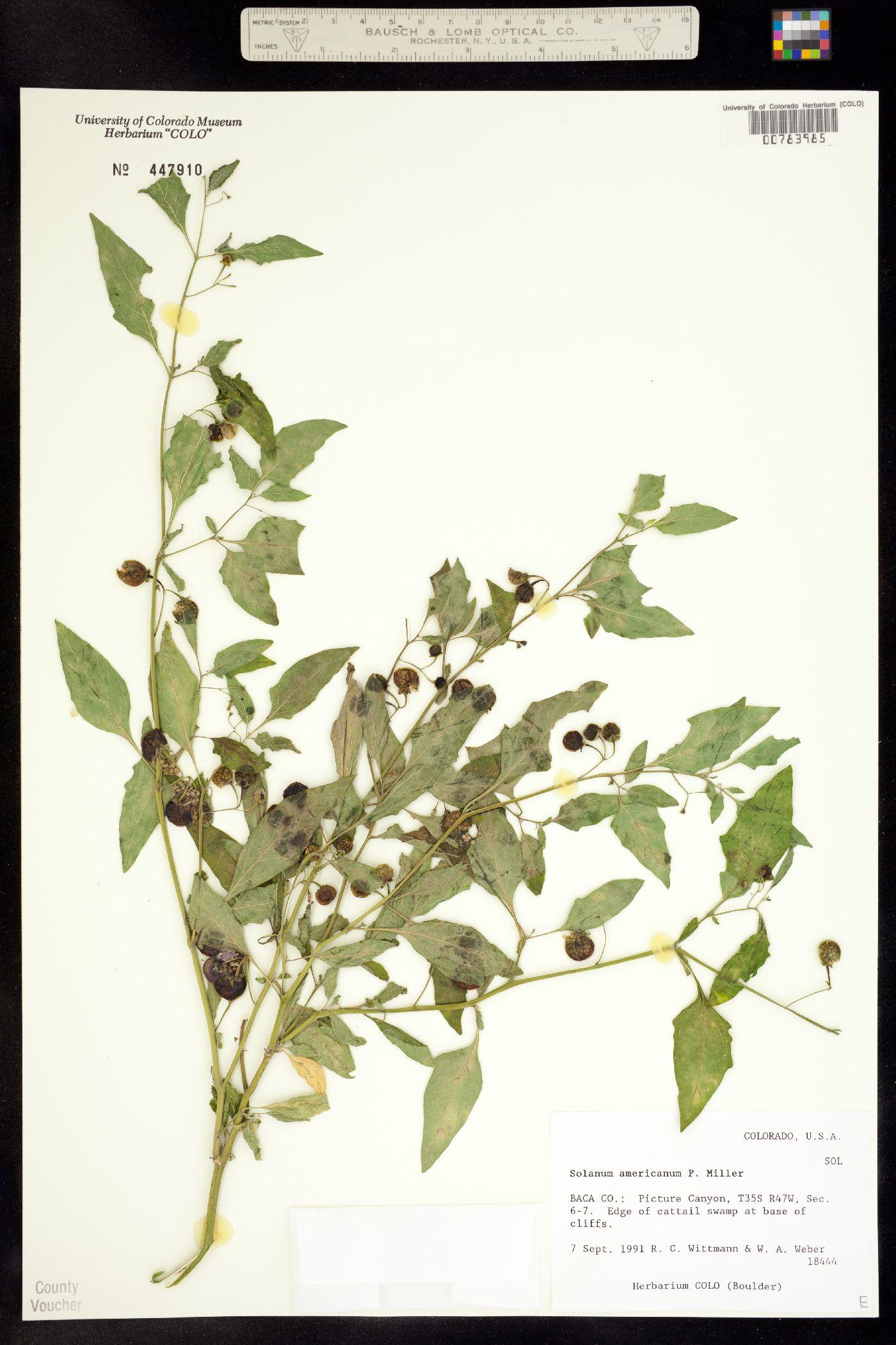 Solanum image