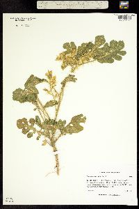 Solanum rostratum image