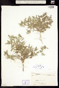 Image of Chamaesaracha conioides