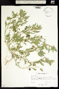 Solanum triflorum image