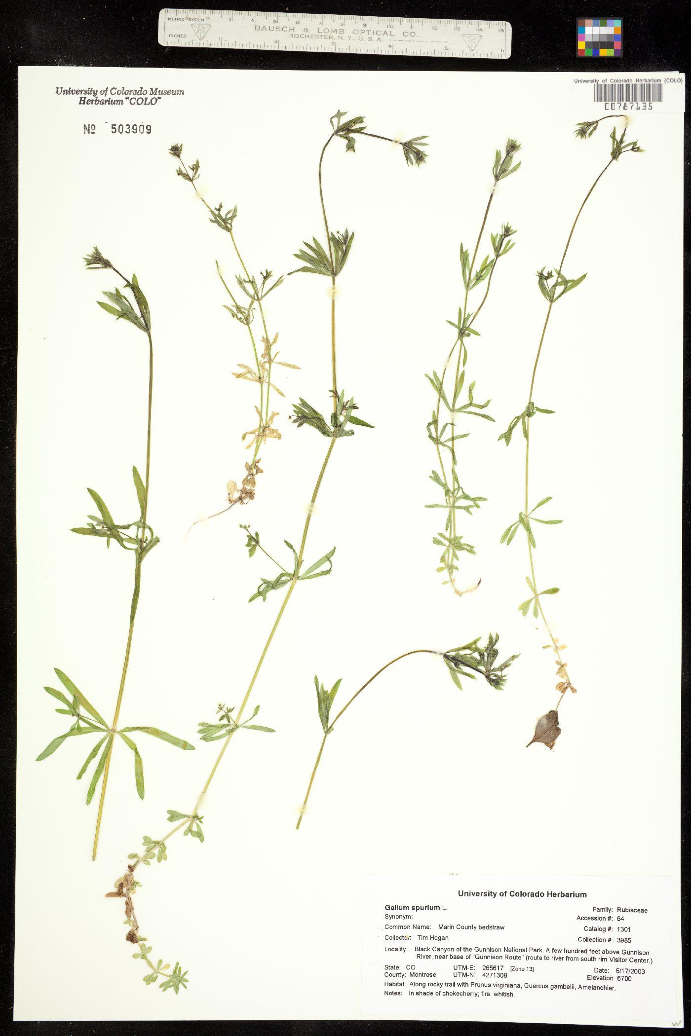 Galium spurium image